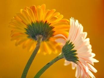 Flowers_-_Gerbera_Daisies.jpg